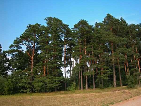 Se pierden 6 mil hect reas de pino por plagas en for Arboles de hoja perenne informacion
